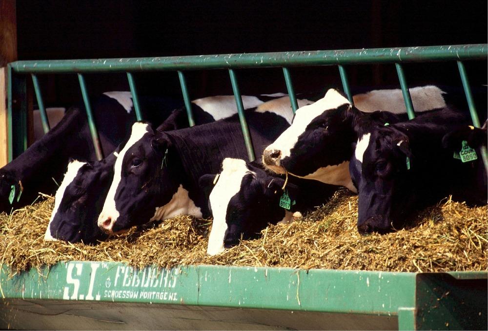 cows-526771_1920