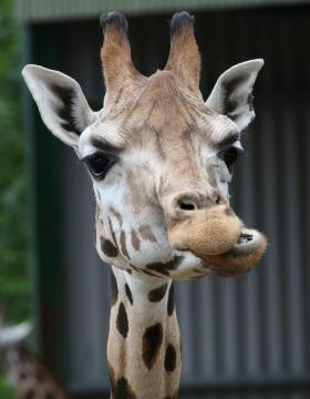 giraffe-1575099_1280